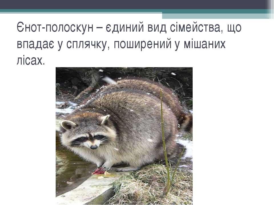 Єнот-полоскун – єдиний вид сімейства, що впадає у сплячку, поширений у мішани...
