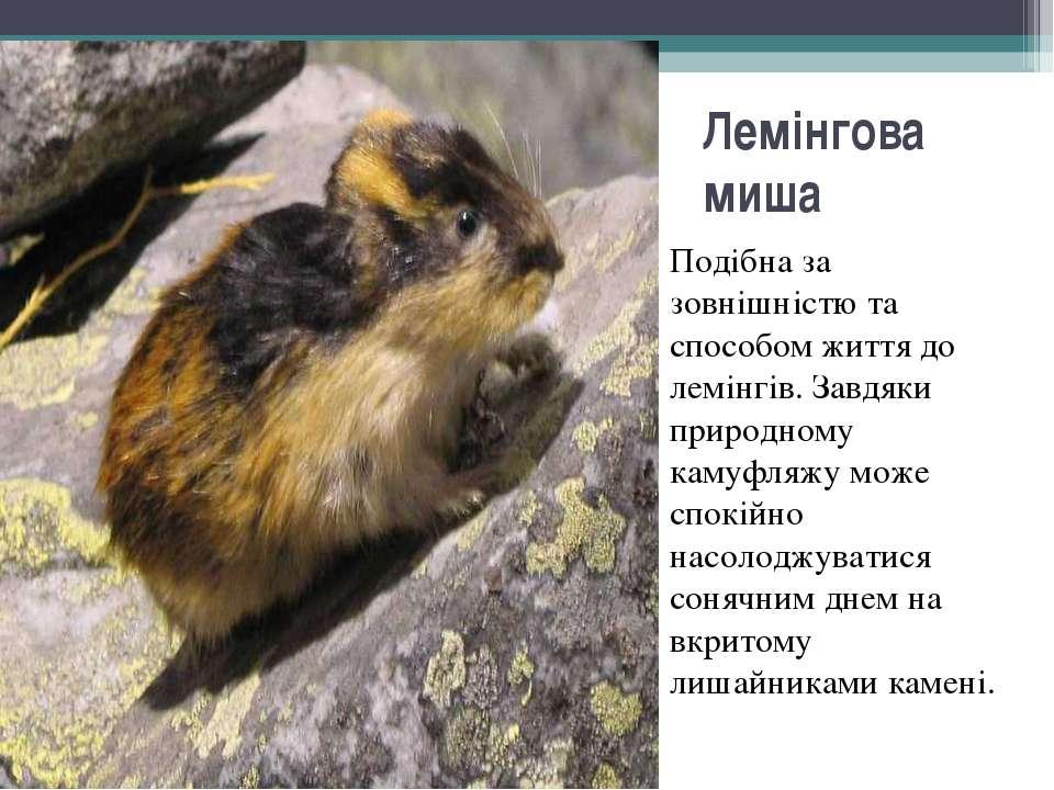 Лемінгова миша Подібна за зовнішністю та способом життя до лемінгів. Завдяки ...