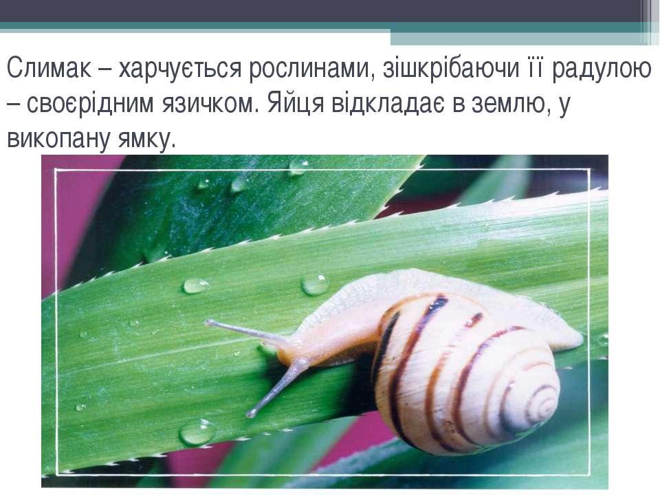 Слимак – харчується рослинами, зішкрібаючи її радулою – своєрідним язичком. Я...