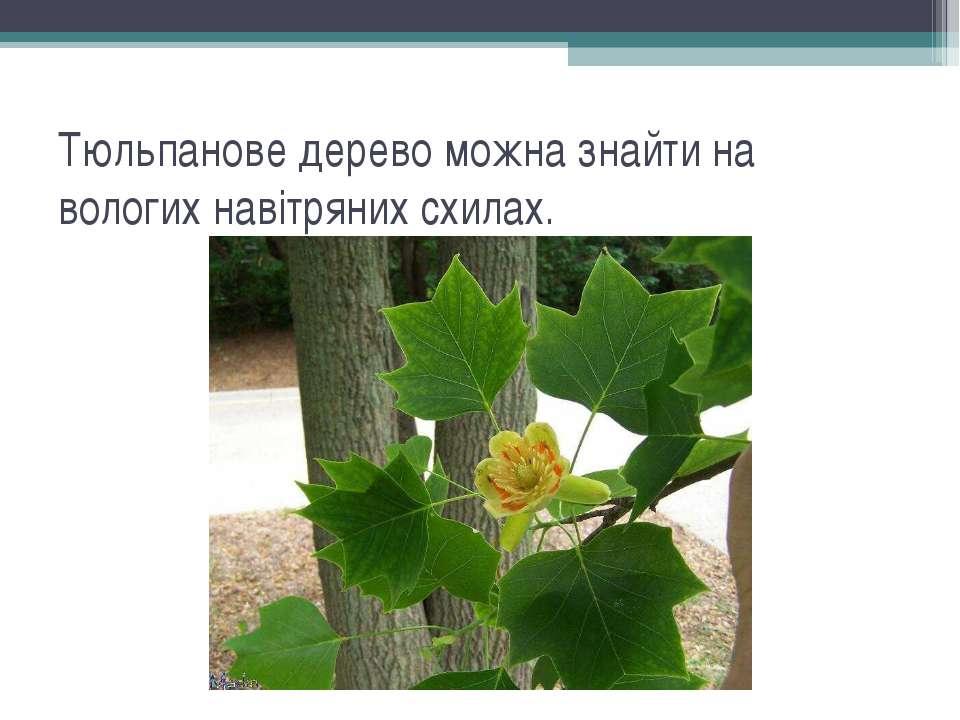 Тюльпанове дерево можна знайти на вологих навітряних схилах.