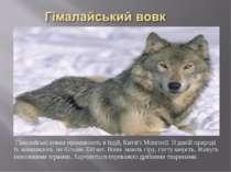Гімалайські вовки проживають в Індії, Китаї і Монголії. В дикій природі їх за...