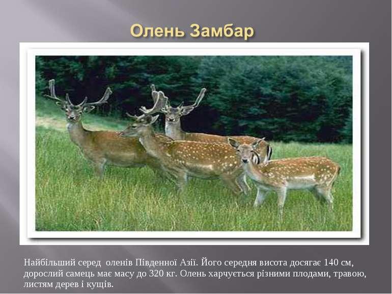 Найбільший серед оленів Південної Азії. Його середня висота досягає 140 см, д...