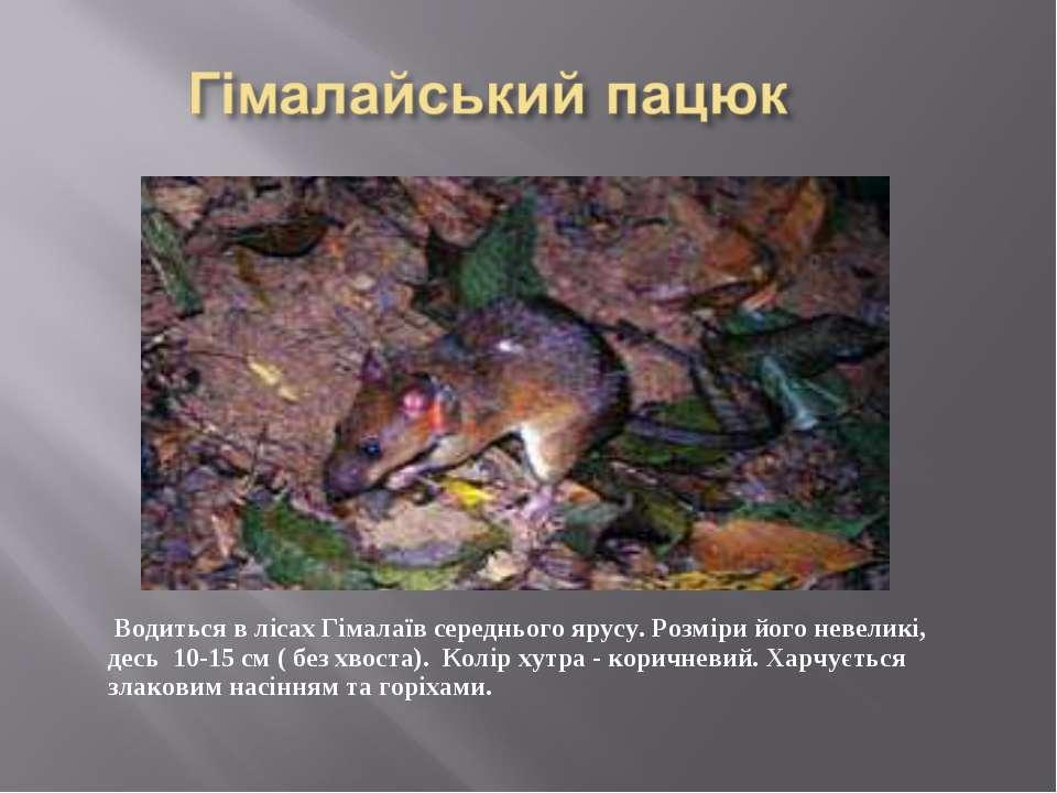 Водиться в лісах Гімалаїв середнього ярусу. Розміри його невеликі, десь 10-15...