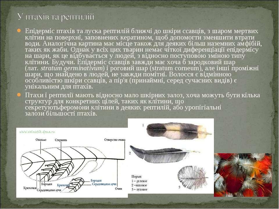 Епідермісптахівта лускарептилійближчі до шкіри ссавців, з шаром мертвих к...