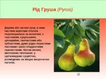 Рід Груша (Pyrus) Дерева або великі кущі, в яких частина коротких гілочок пер...