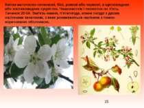 Квітки маточково-тичинкові, білі, рожеві або червоні, в щитковидних або зонти...