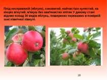 Плід несправжній (яблуко), соковитий, найчастіше кулястий, на кінцях вгнутий,...