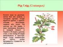 Рід Глід (Crataegus) Колючі кущі чи деревця; квітки білі або рожеві, у складн...