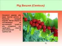 Рід Вишня (Centsus) Неколючі дерева або кущі; листки цілісні, в бруньках скла...