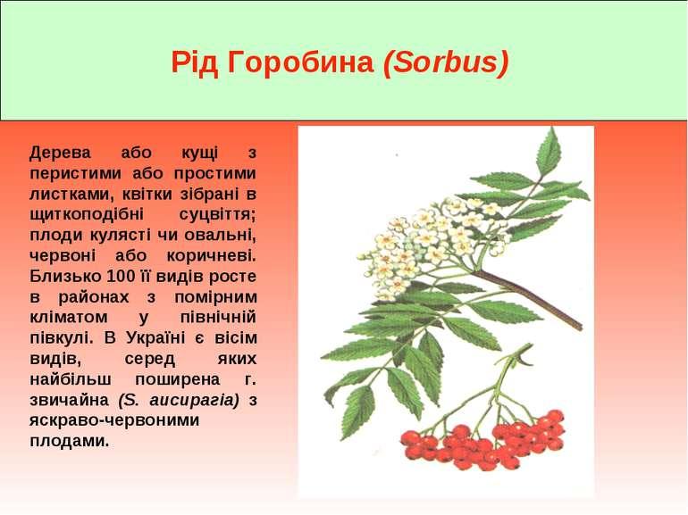 Рід Горобина (Sorbus) Дерева або кущі з перистими або простими листками, квіт...