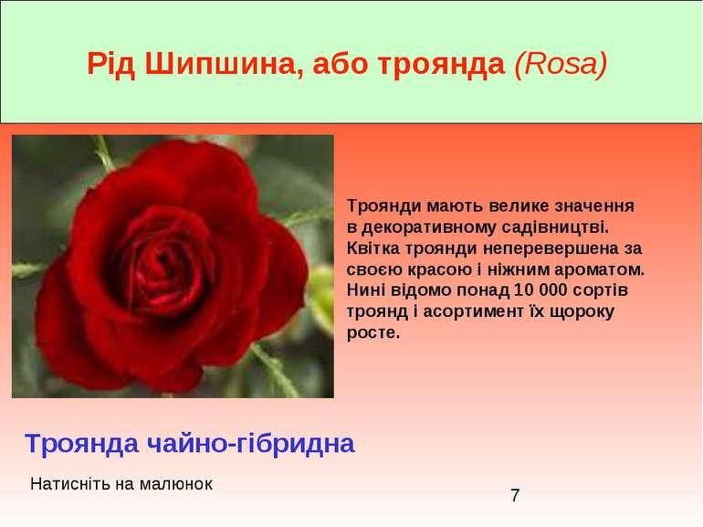 Рід Шипшина, або троянда (Rosa) Троянда чайно-гібридна Троянди мають велике з...