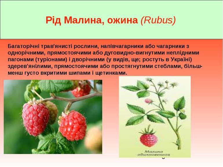 Рід Малина, ожина (Rubus) Багаторічні трав'янисті рослини, напівчагарники або...
