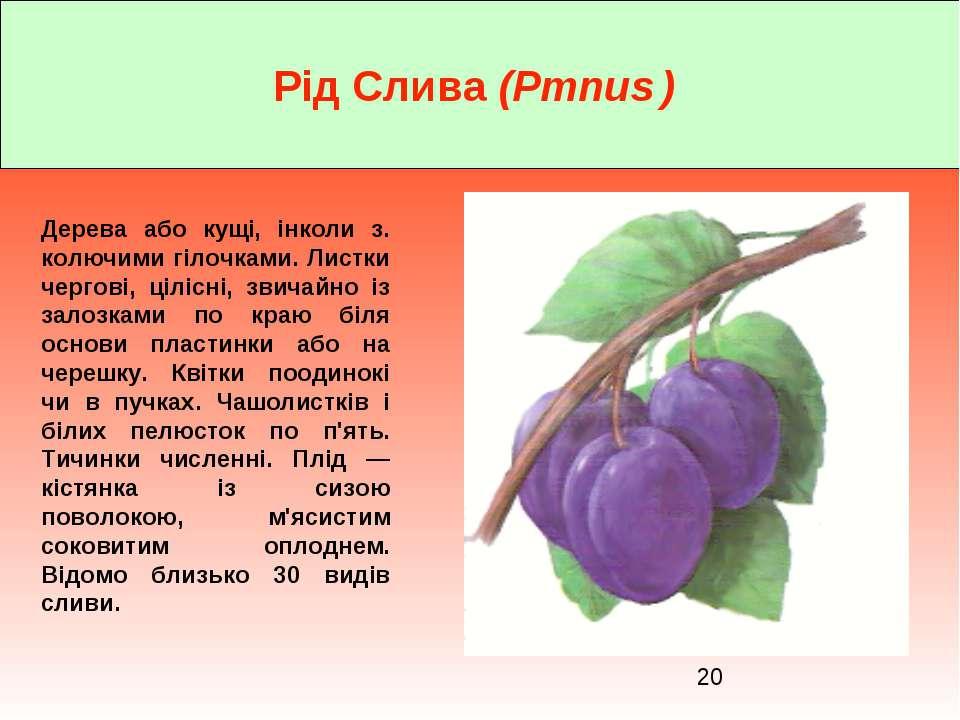 Рід Слива (Pmnus ) Дерева або кущі, інколи з. колючими гілочками. Листки черг...