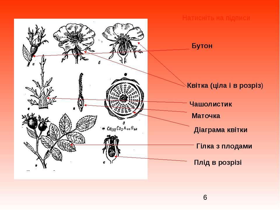 Бутон Квітка (ціла і в розріз) Чашолистик Маточка Діаграма квітки Гілка з пло...