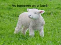 As innocent as a lamb