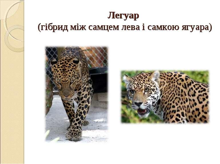 Легуар (гібрид між самцем лева і самкою ягуара)