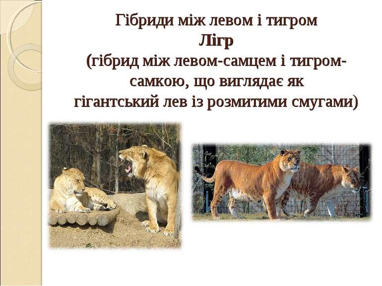 Гібриди між левом і тигром Лігр (гібрид міжлевом-самцем ітигром-самкою, що ...