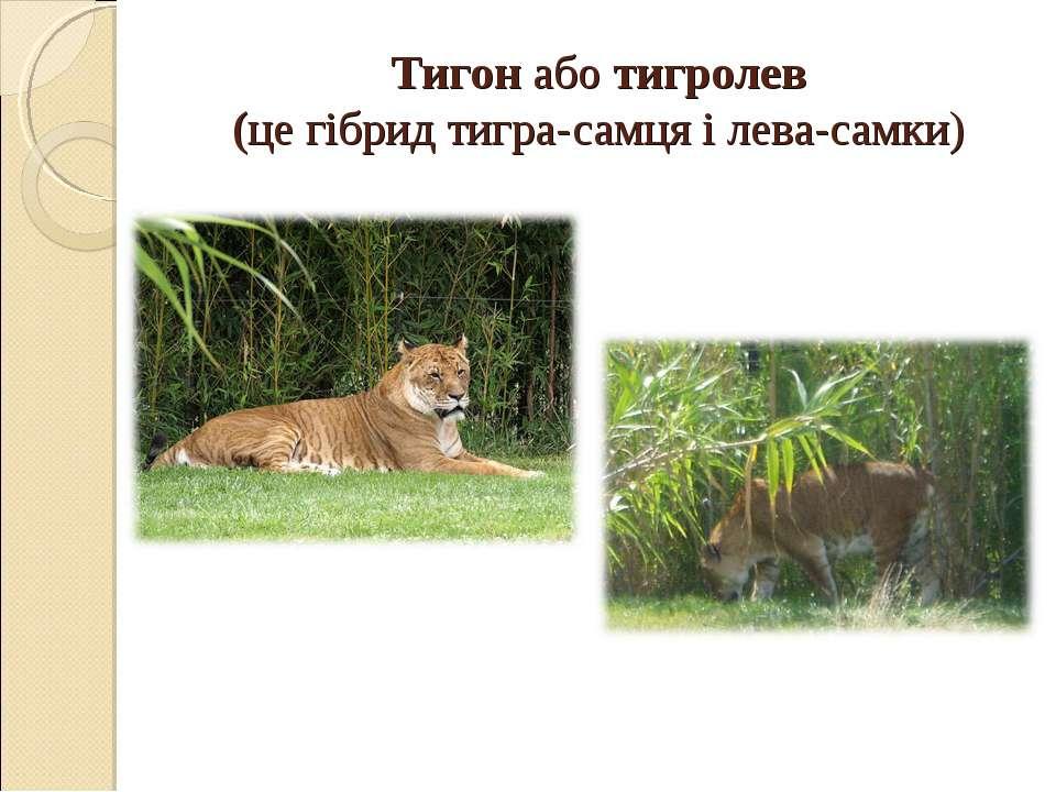 Тигон аботигролев (це гібридтигра-самця ілева-самки)
