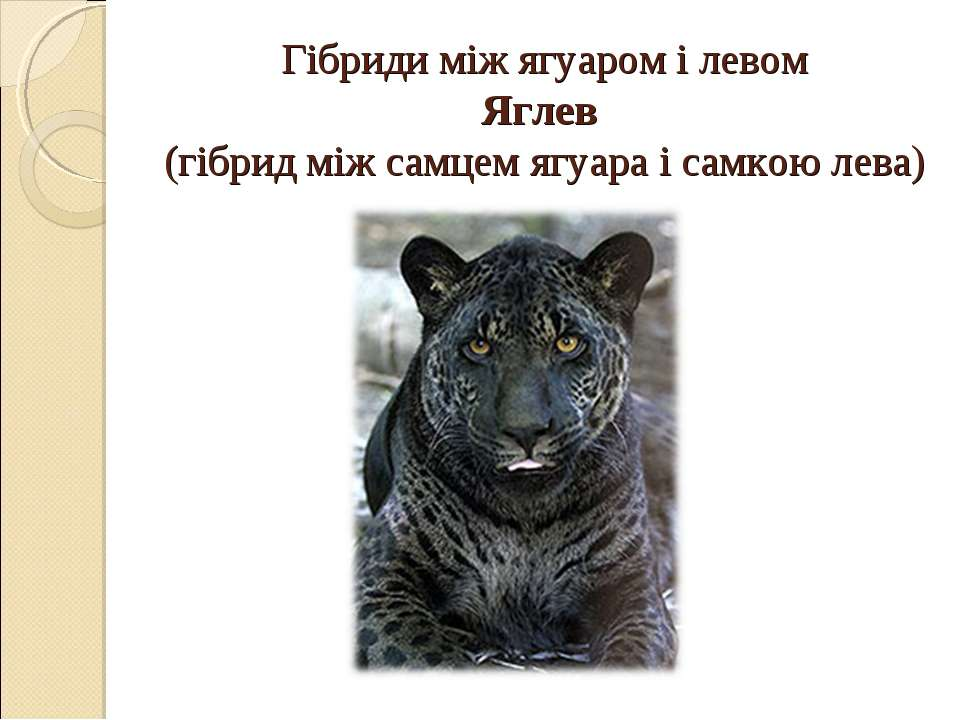 Гібриди між ягуаром і левом Яглев (гібрид між самцем ягуара і самкою лева)