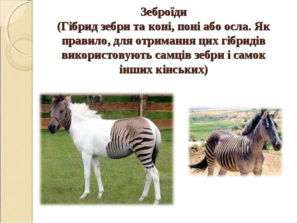 Зеброїди (Гібрид зебри та коні, поні або осла. Як правило, для отримання цих ...