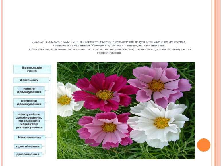 Взаємодія алельних генів.Гени, які займають ідентичні (гомологічні) локуси в...