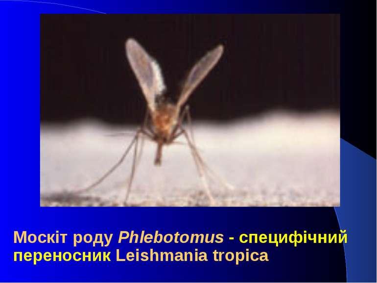 Москіт роду Phlebotomus - специфічний переносник Leishmania tropica
