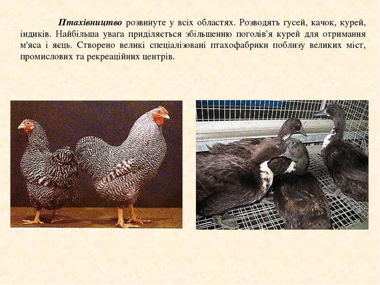 Птахівництво розвинуте у всіх областях. Розводять гусей, качок, курей, індикі...
