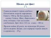 Єдина на планеті горила-альбінос з білосніжною шерстю народилась у Гвінеї у 1...