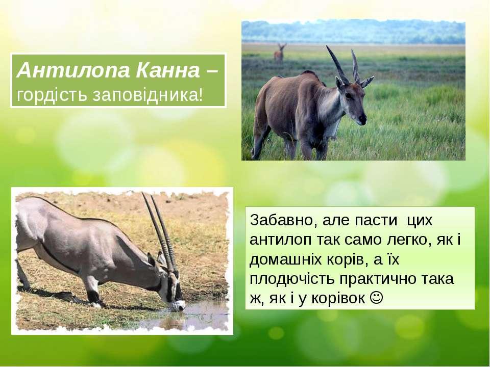 Антилопа Канна – гордість заповідника! Забавно, але пасти цих антилоп так сам...