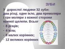 У дорослої людини 32зуби: дварізці, одне ікло, два премоляри і три моляри з...