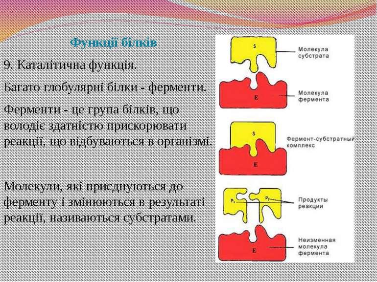 Функції білків 9. Каталітична функція. Багато глобулярні білки - ферменти. Фе...