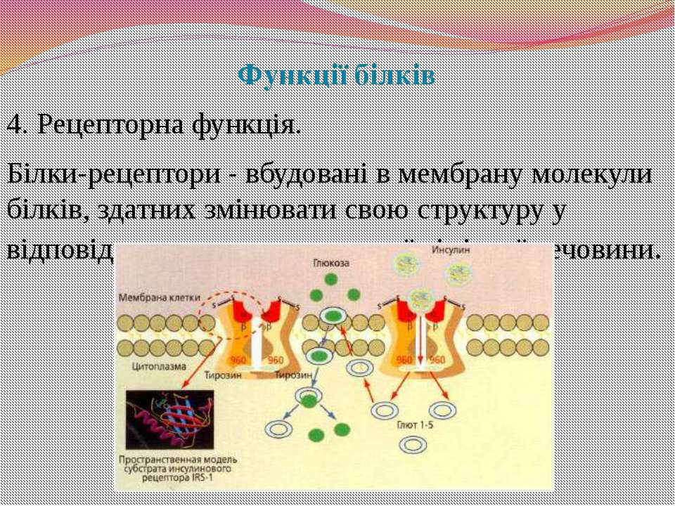 Функції білків 4. Рецепторна функція. Білки-рецептори - вбудовані в мембрану ...