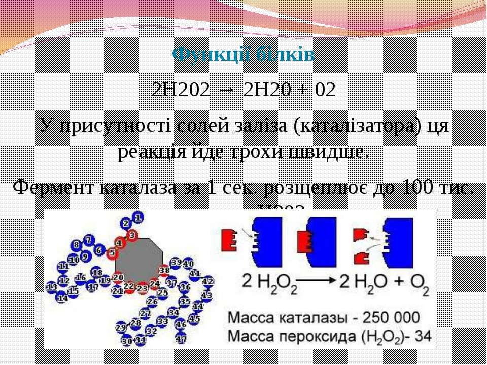 Функції білків 2Н202 → 2Н20 + 02 У присутності солей заліза (каталізатора) ця...