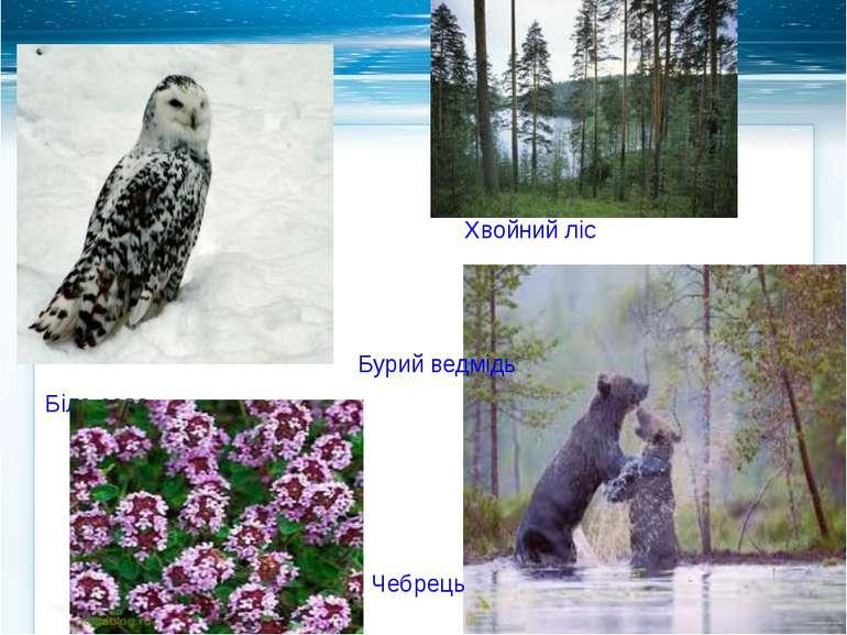 Біла сова Бурий ведмідь Чебрець Хвойний ліс