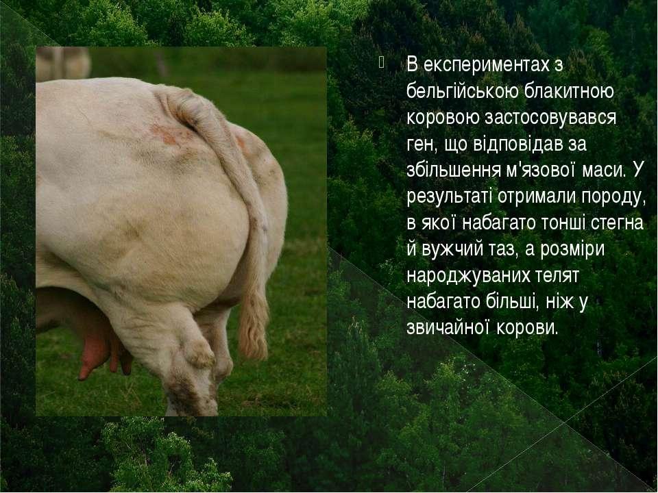 В експериментах з бельгійською блакитною коровою застосовувався ген, що відпо...