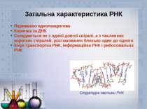 Загальна характеристика РНК Переважно одноланцюгова Коротша за ДНК Складаютьс...