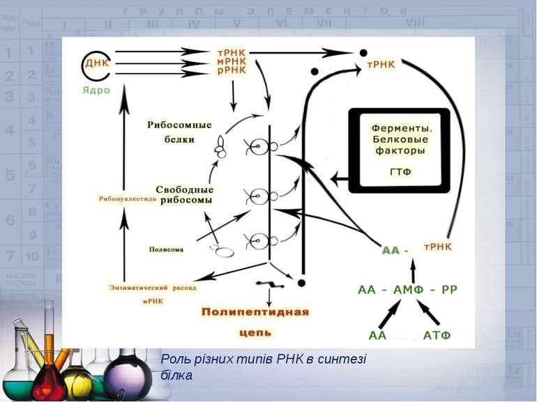 Роль різних типів РНК в синтезі білка
