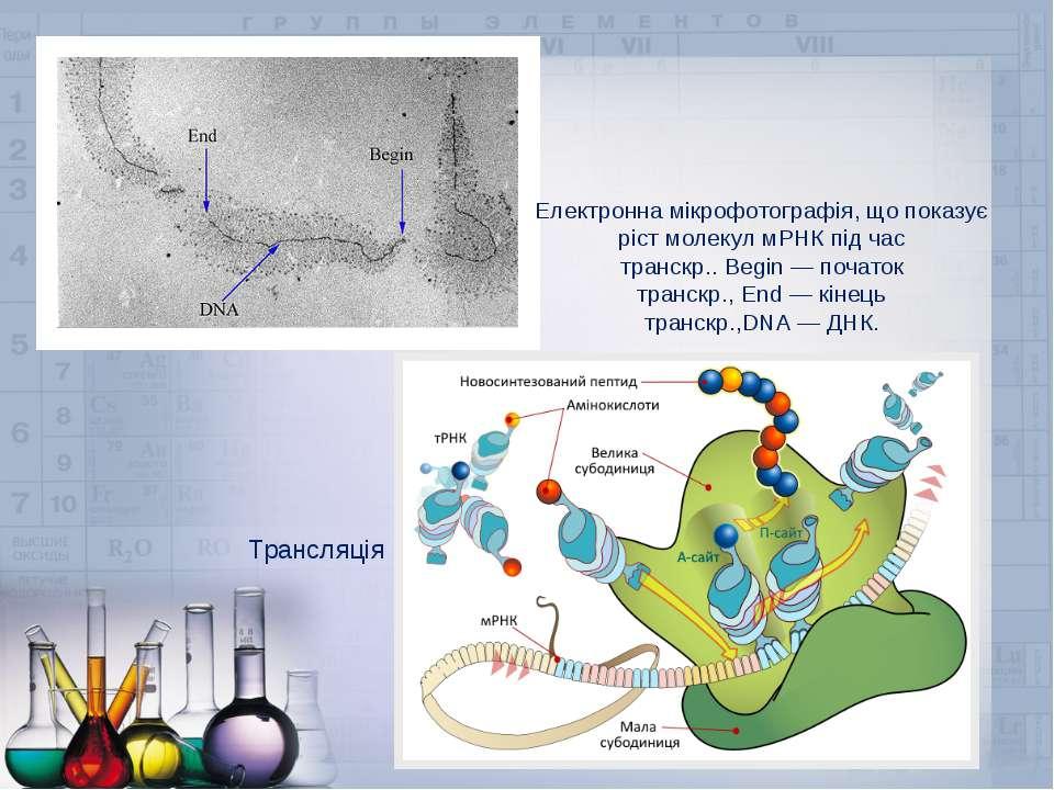 Електронна мікрофотографія, що показує ріст молекул мРНК під час транскр..Be...