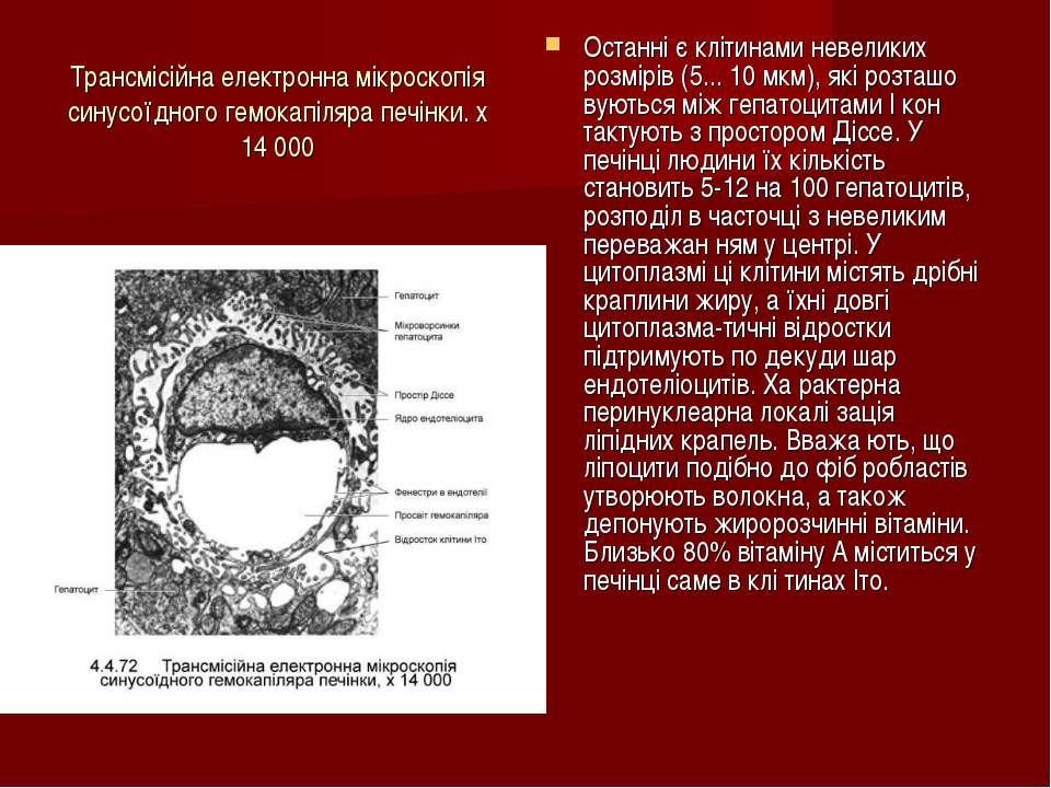 Трансмісійна електронна мікроскопія синусоїдного гемокапіляра печінки. х 14 0...