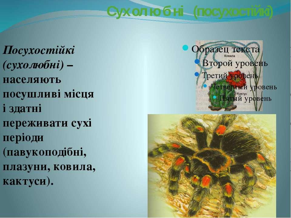 Сух ол ю б ні (посухостійкі) Посухостійкі (сухолюбні) – населяють посушливі м...