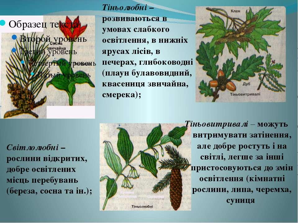 Світлолюбні – рослини відкритих, добре освітлених місць перебувань (береза, с...