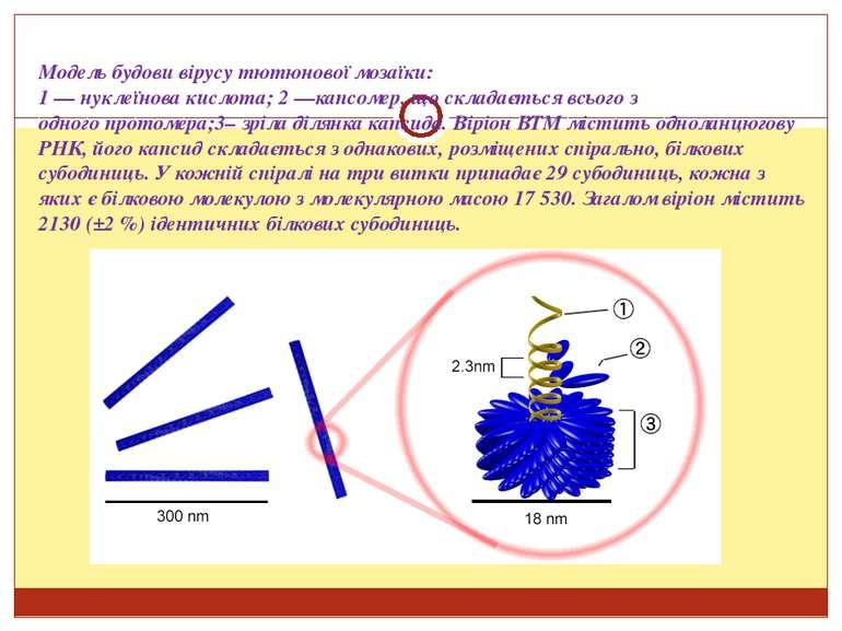 Модель будови вірусу тютюнової мозаїки: 1 — нуклеїнова кислота; 2 —капсомер, ...