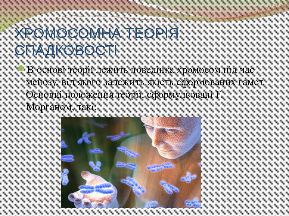 ХРОМОСОМНА ТЕОРІЯ СПАДКОВОСТІ Воснові теорії лежить поведінка хромосом під ч...