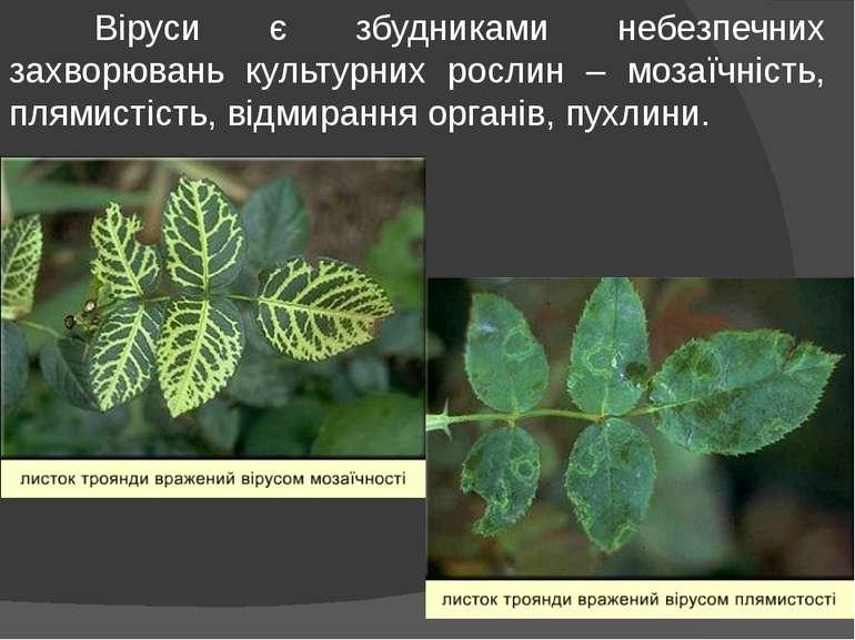 Віруси є збудниками небезпечних захворювань культурних рослин – мозаїчність, ...