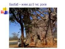 Баобаб – живе до 5 тис. років