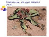 Вельвічія дивна - має всього два листки (Наміб)