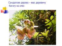 Сандалове дерево – має деревину багату на олію