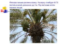 Фінікова пальма-рослина оазису. На верху стовбура 40-70 листків,кожний довжин...