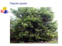 Лаврове дерево