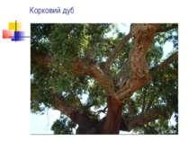 Корковий дуб